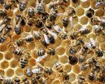 Novi Pravilnik o provedbi mjera nacionalnog pčelarskog programa za razdoblje od 2017. do 2019. godine